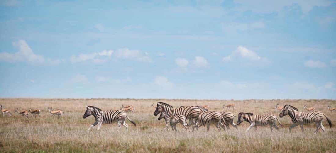 Sebraer på savannen i Etosha