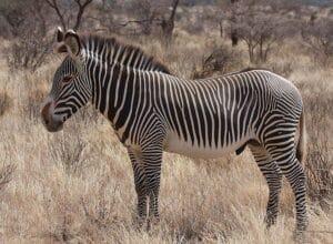 Grevy's_Zebra_Stallion